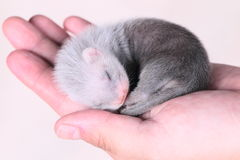 Ferret baby in human hands Royalty Free Stock Image