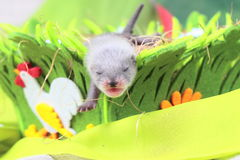 Ferret baby in the nest of hay Stock Images
