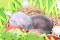 Ferret baby in the nest of hay Stock Photo