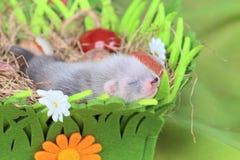 Ferret baby in the nest of hay Stock Image