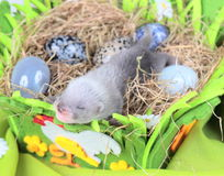 Ferret baby in the nest of hay Royalty Free Stock Photography