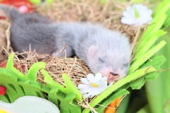 Ferret baby in the nest of hay Stock Photo