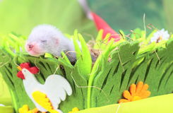 Ferret baby in the nest of hay Royalty Free Stock Image