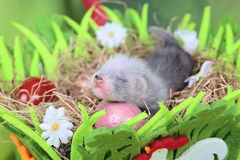 Ferret baby in the nest of hay Stock Photos