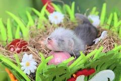 Ferret baby in the nest of hay Stock Photos