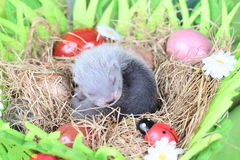 Ferret baby in the nest of hay Royalty Free Stock Photo