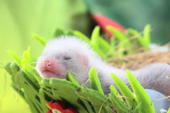 Ferret baby in the nest of hay Royalty Free Stock Photos