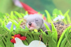 Ferret baby in the nest of hay Stock Photography