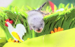 Ferret baby in the nest of hay Royalty Free Stock Images
