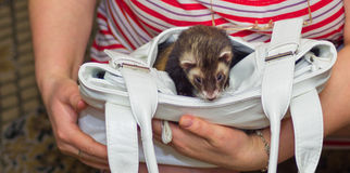 Ferret in the bag Stock Photo