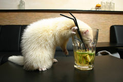 Ferret in the bar. White ferret drinking beer from glass Stock Image