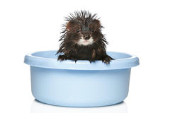 Ferret bathed on a white background Stock Photos