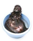Ferret bathed on a white background Stock Photo