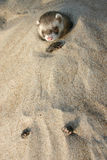 Ferret in a beach stock images