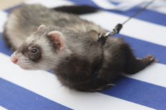 Ferret on beach Royalty Free Stock Photos