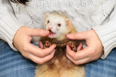 Ferret bites the mistress Stock Images