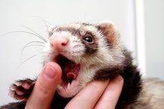 Ferret bitting  owners finger Stock Photo