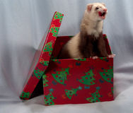 Ferret in a box Royalty Free Stock Images