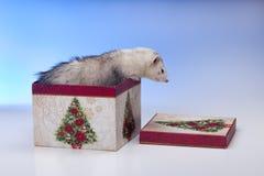 Ferret in box. Stock Images
