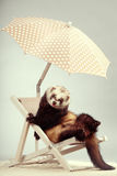 Ferret boy portrait on beach chair in studio. Ferret portrait on beach chair in studio Royalty Free Stock Image
