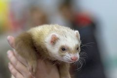 Ferret brisk moving animal, close-up. Laski and ferrets are the genus of mammals of the family of cunichi Royalty Free Stock Photos