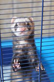 Ferret in a cage. Ferret stands on his hind legs in a blue cage stock photos
