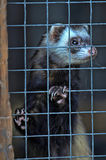 Ferret in a cage Stock Images