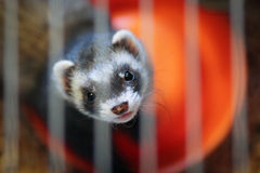 Ferret in the cage Stock Photography
