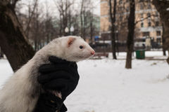 Ferret in the city at the hands of. 2016 stock image