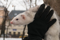 Ferret in the city at the hands of. 2016 stock images
