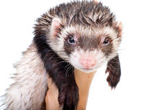 Ferret close-up portrait Stock Image