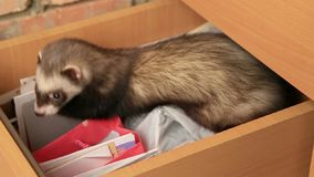 Ferret In A Drawer stock video