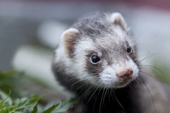 Ferret face with dirty nose looking somewere Stock Photo