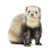 Ferret facing, isolated Royalty Free Stock Photo