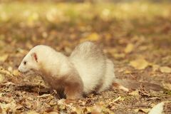 Champagne color ferret relaxing in autumn park. Ferret female posing and enjoying their walk and game in park royalty free stock image