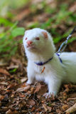 Ferret in the forest Royalty Free Stock Photography