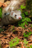 Ferret in the forest Stock Images