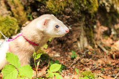 Ferret in the forest Stock Photo