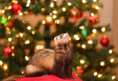 Ferret in Front of Christmas lights. Sable ferret sitting in front of Christmas lights stock image