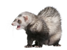 Ferret in front of white background Royalty Free Stock Photography