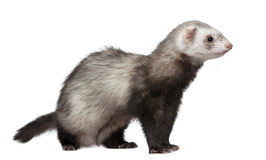 Ferret in front of white background Royalty Free Stock Image