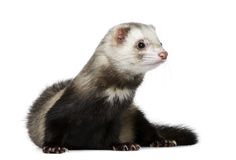 Ferret in front of white background Royalty Free Stock Images