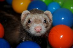 Ferret Fun. A ferret playing in the bath with his toys Stock Photography