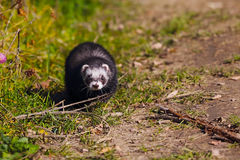 Ferret on the grass Stock Image