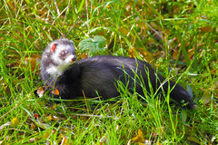 Ferret on the grass Royalty Free Stock Photography