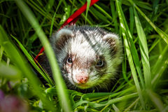 Ferret in the grass Royalty Free Stock Image