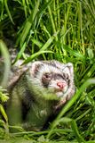 Ferret in the grass Stock Photography