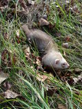 Ferret at grass Stock Photos