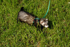 Ferret in grass Royalty Free Stock Photography