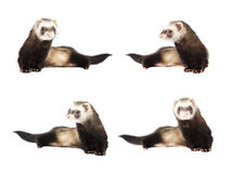 Ferret gray sits collage Stock Photography